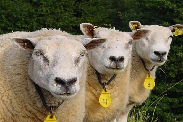 Samorządowiec nie wilkiem dla owiec