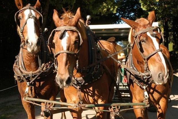 Potrzebne zdrowe, silne konie