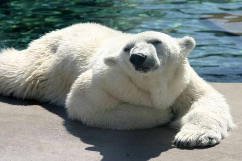 Wybieg dla niedźwiedzi za 15 mln zł