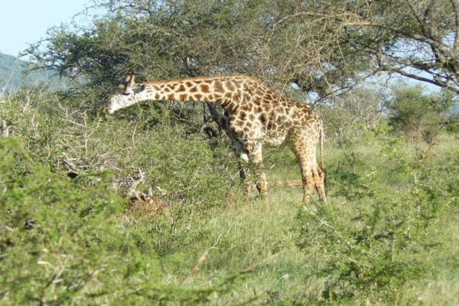 Świecąca żyrafa w nowej skórze