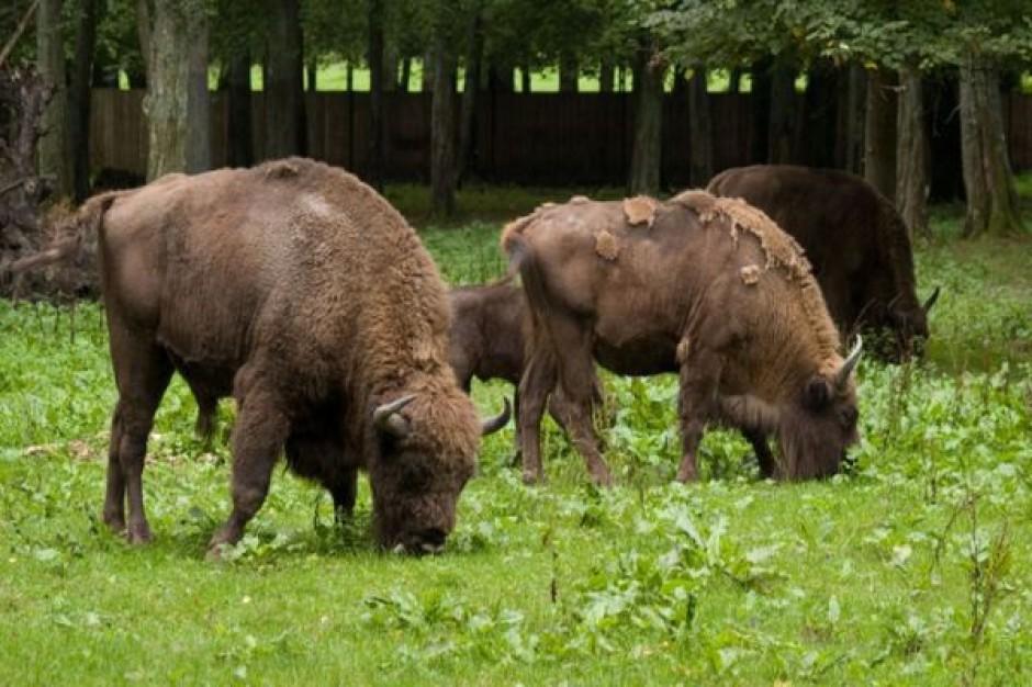 Przebudowa rezerwatu w Białowieży