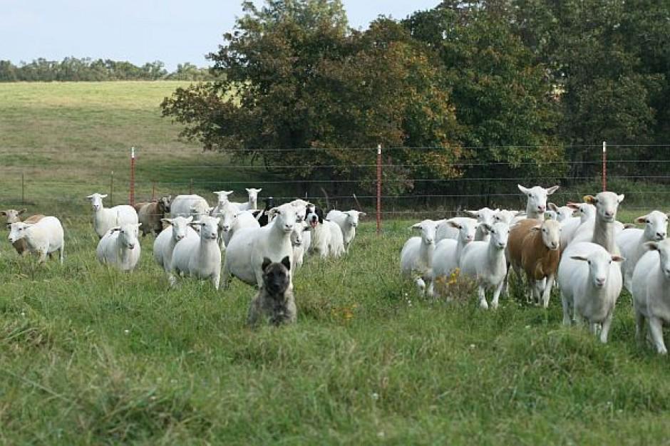 Radny sprowadził owce do centrum Krakowa