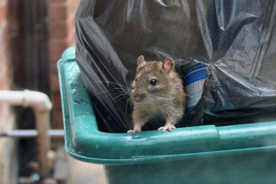 Nadchodzą jesienne szczury
