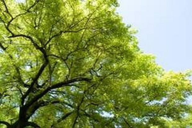 Znikające drzewa z zamojskiej starówki