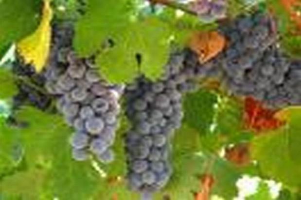 Winiarskie dożynki w Ochli