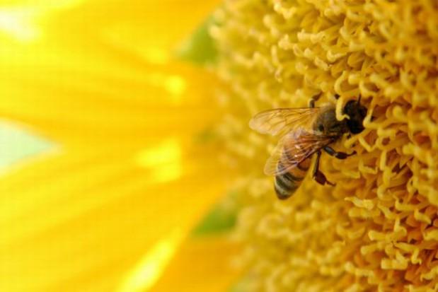 Na lekcji z żywą pszczołą
