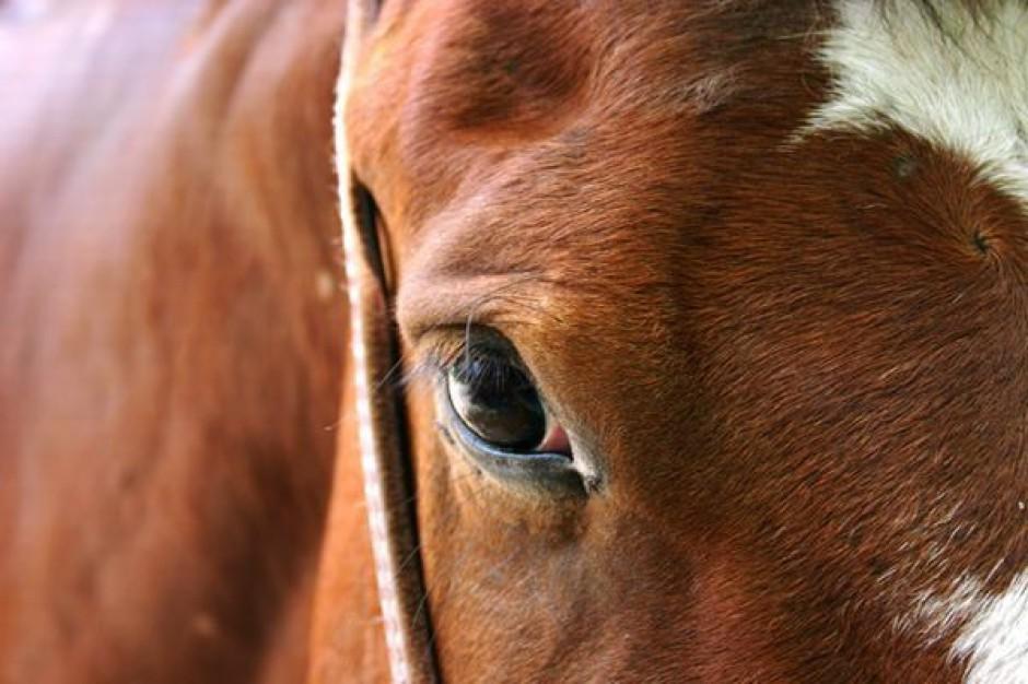 Koński jarmark kontrolowany przez obrońców zwierząt
