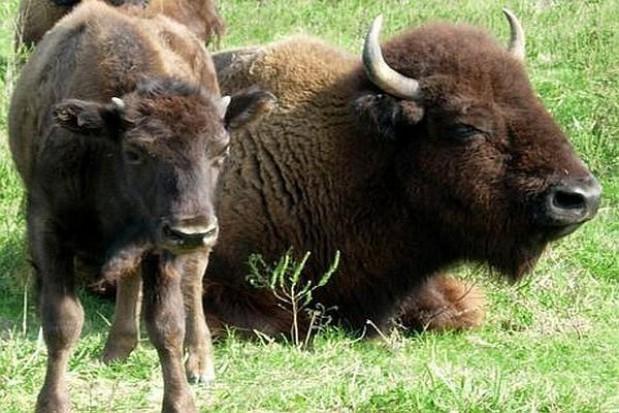 250 tys. za kontraktowanie łąk na siano dla żubrów