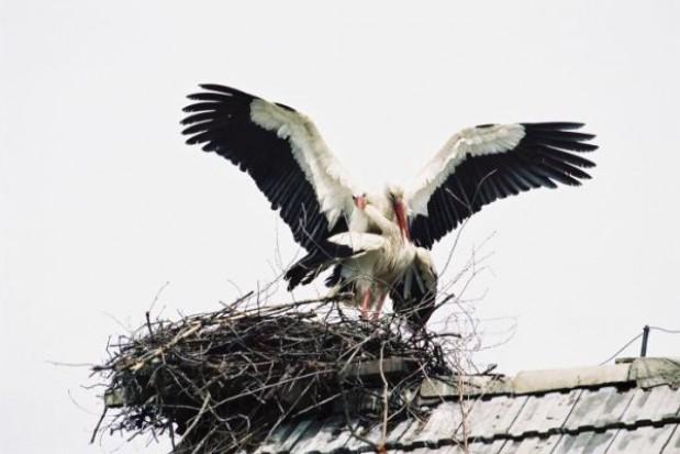 10 nowych gniazd bocianich w Zachodniopomorskiem