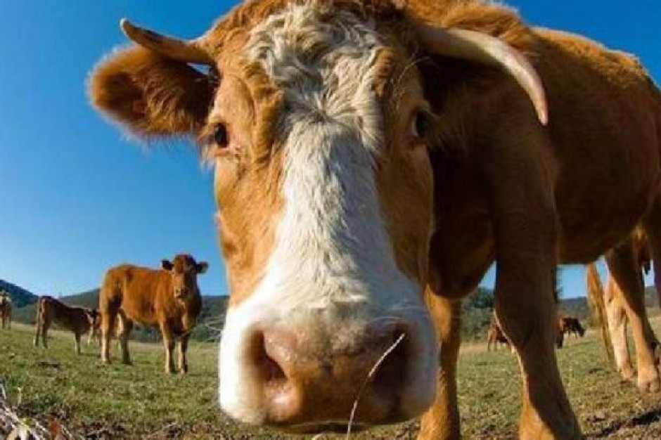 Krowy i konie dla podlaskich rolników