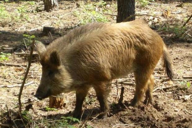Dziki w Mierzynie: odłownia przy Akacjowej