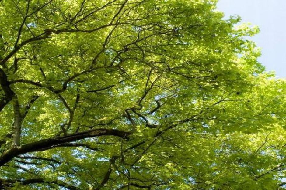 Rozdano 50 tys. drzewek w Sanoku