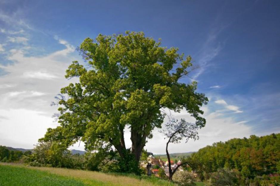 Lipa z Wambierzyc w czołówce konkursu na Drzewo Roku