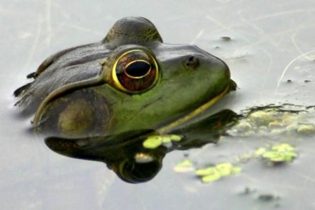 Umorzono śledztwo ws. żab w Krakowie