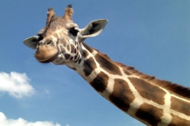 Żyrafy wrócą do śląskiego ZOO
