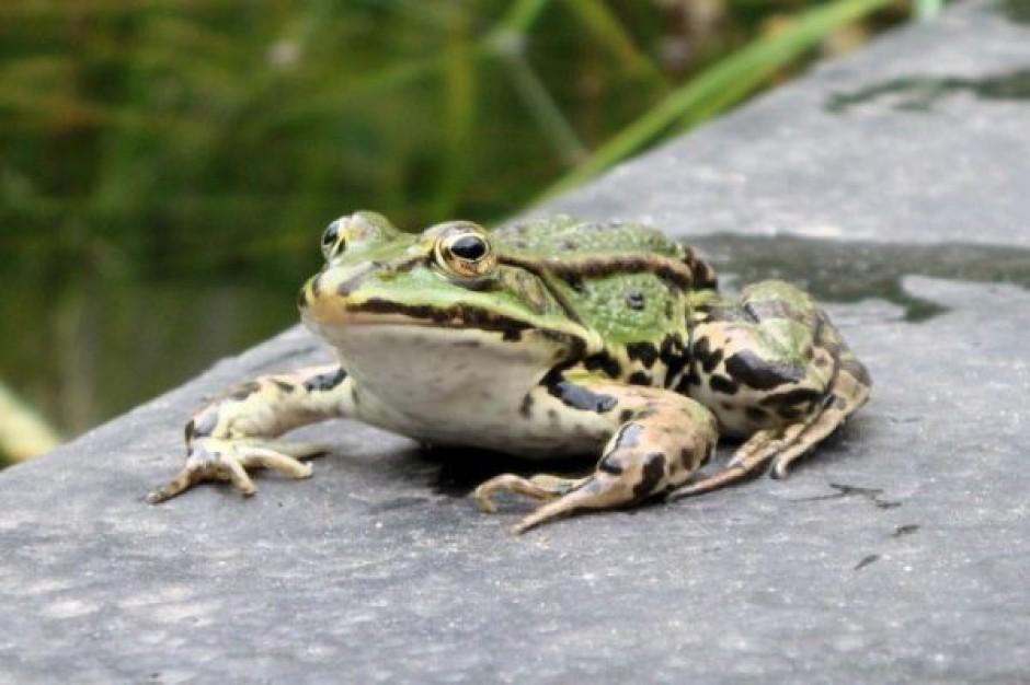 GDDKiA bardziej ceni żaby niż rolników