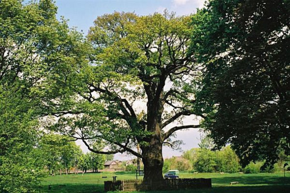 Gmina dba o kondycję drzew