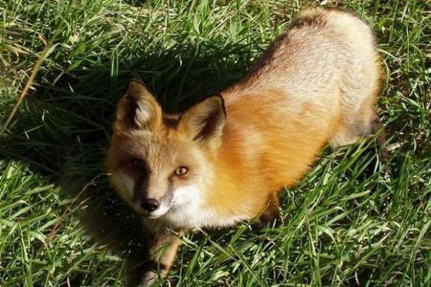 Zaszczepią lisy przeciw wściekliźnie