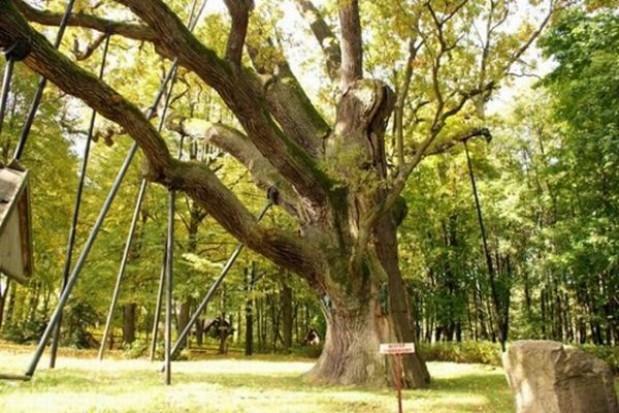 Zbudują chodnik koło zabytkowego drzewa