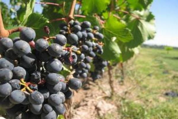 Podkarpackie winnice kończą winobranie
