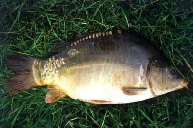 Trwają kontrole sprzedawców żywych ryb