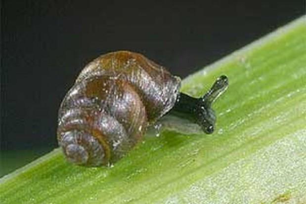 Zagrożony ślimak wstrzymał budowę obwodnicy