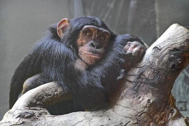 Przyjdź zimą do ZOO, by małpy się nie nudziły