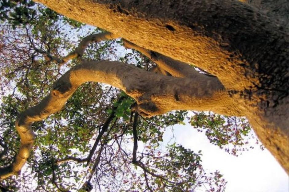 Komisja ma ocenić wycinkę drzew