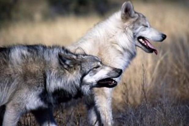 Liczenie wilków i rysi w mazurskich lasach