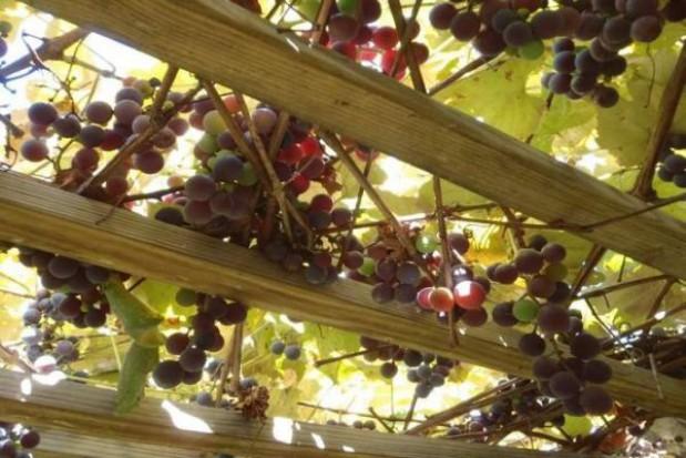 Bezpłatnie nauczą jak produkować wino