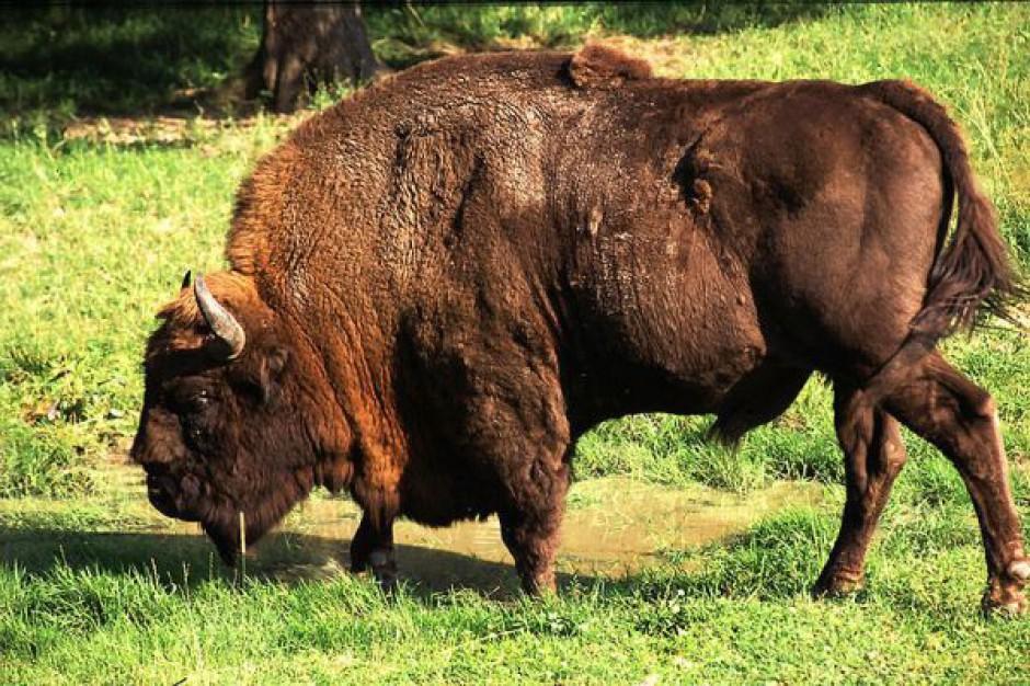 Zakontraktowali 160 ha łąk z myślą o żubrach w Białowieży
