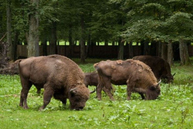 Chcą zdobyć pieniądze na ochronę żubra w płn-wsch. Polsce