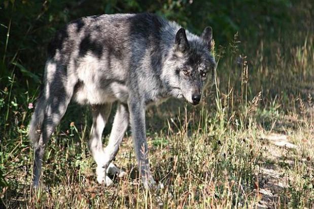 Wilki atakują psy w Rajczy