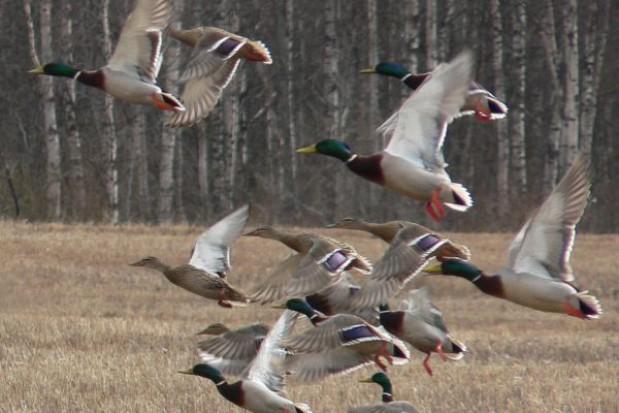 Akcja odstraszania ptaków w sąsiedztwie lotniska