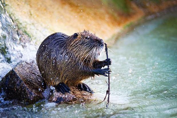 Sposób na podtopienia spowodowane przez bobry