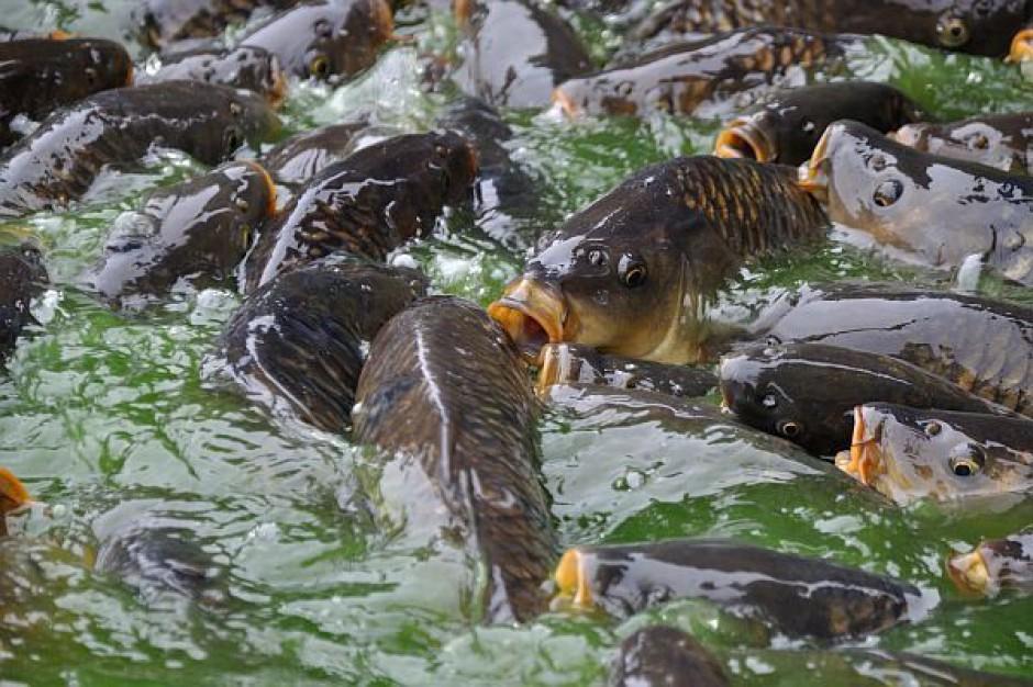 W święta już nie kupimy żywych ryb?
