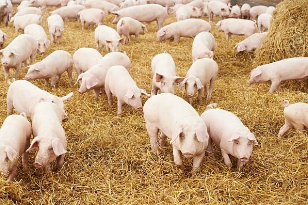 Weterynarze zbadają świnie w podlaskich gminach w związku z ASF
