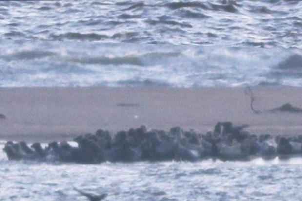 Tłum fok na polskim wybrzeżu