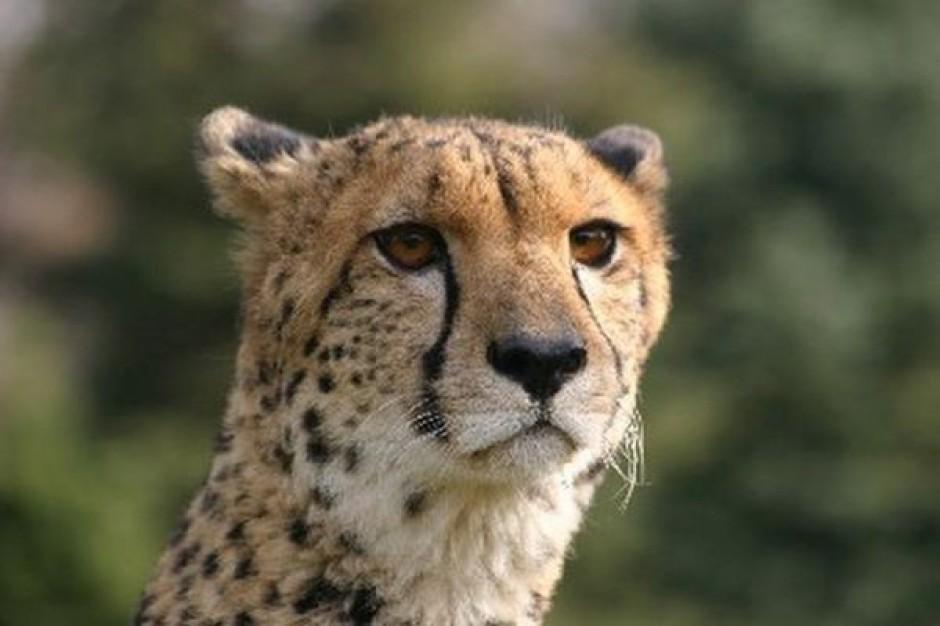 Chorzowskie ZOO: gepardy zajmują budynek dyrekcji
