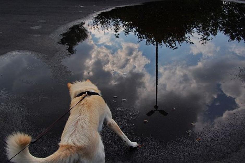 Coraz więcej mandatów za brak smyczy dla psa