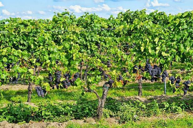Do końca lipca 2015 wybudują Lubuskie Centrum Winiarstwa