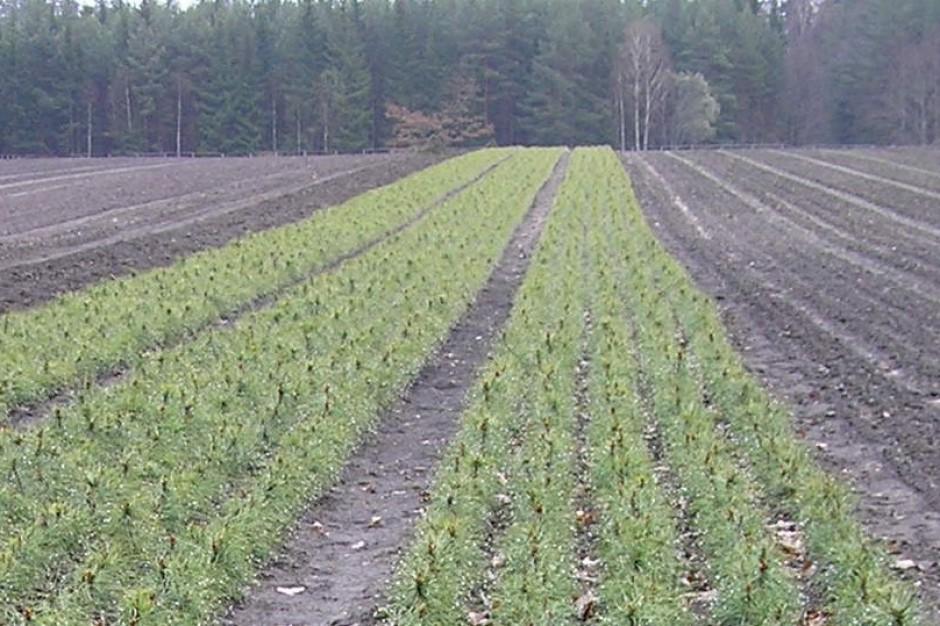 23 mln sadzonek ze szkółek hodowlanych trafi do podkarpackich lasów
