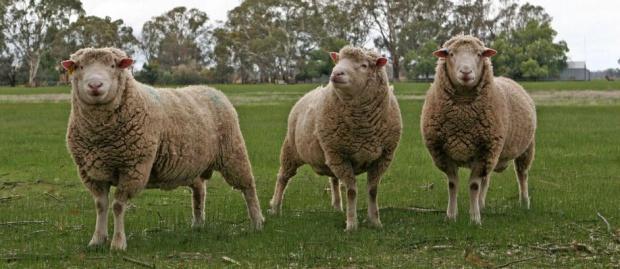 Owce pomagają ochronić cenne rośliny na Ponidziu