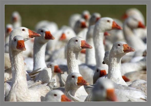 Kujawsko-pomorskie: Startuje jesienna kampania gęsinowa