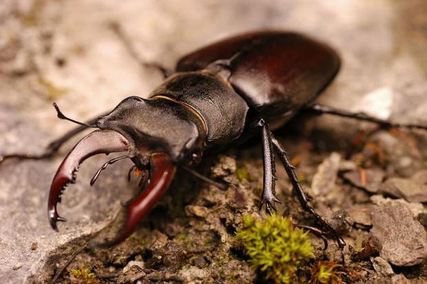 Rzadkie chrząszcze pod opieką przyrodników
