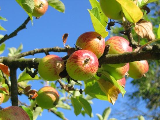 Na Żuławach chcą ocalić lokalne historyczne drzewa owocowe