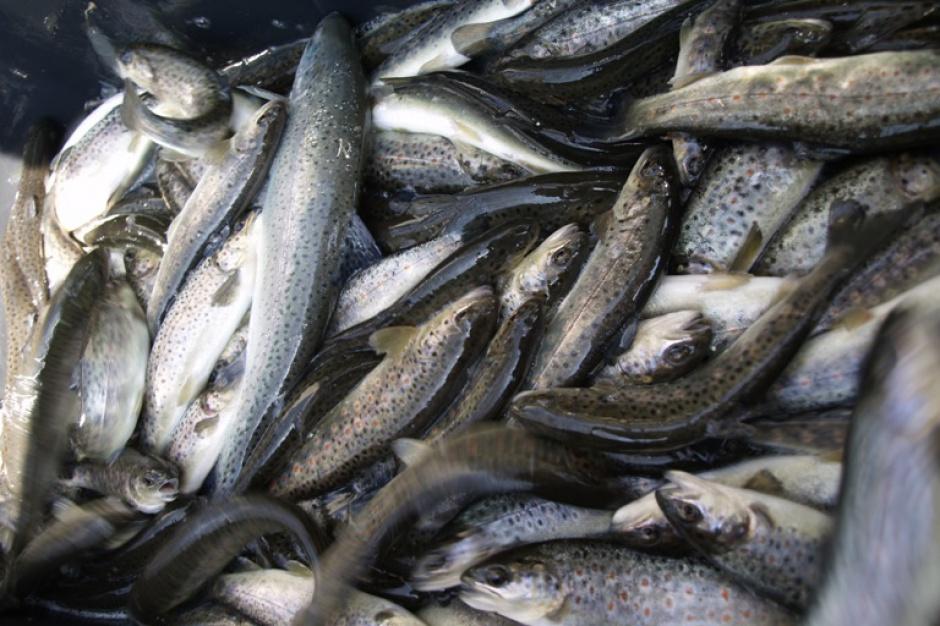 Wędkarze wpuszczą tysiące ryb do rzek na Dolnym Śląsku