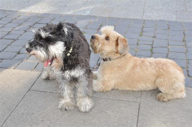 Radom: Czipowanie psów za darmo w wyznaczonych lecznicach weterynaryjnych