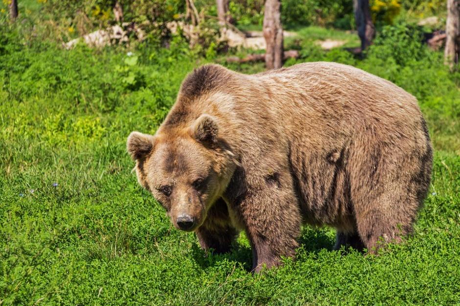 Tatry: Po słowackiej stronie rośnie zagrożenie. Aktywność niedźwiedzi jest alarmująca