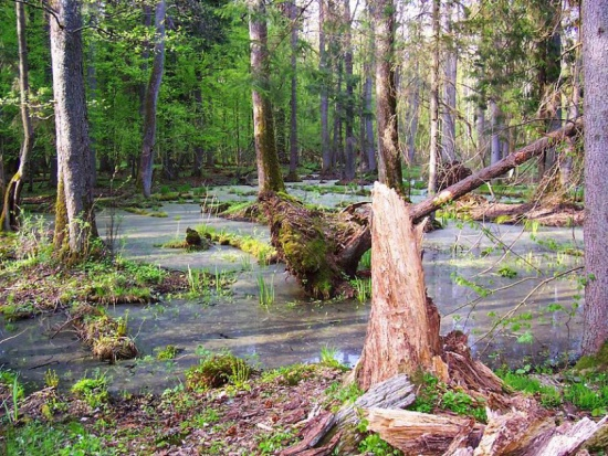 Puszcza Białowieska, wycinka: Ekolodzy wysłali skargę do Komisji Europejskiej na decyzję ministra